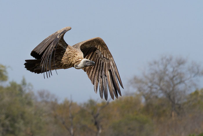 A Whitebacked vulture flaps to gain height as it leaves the scene of a cheetah kill,.