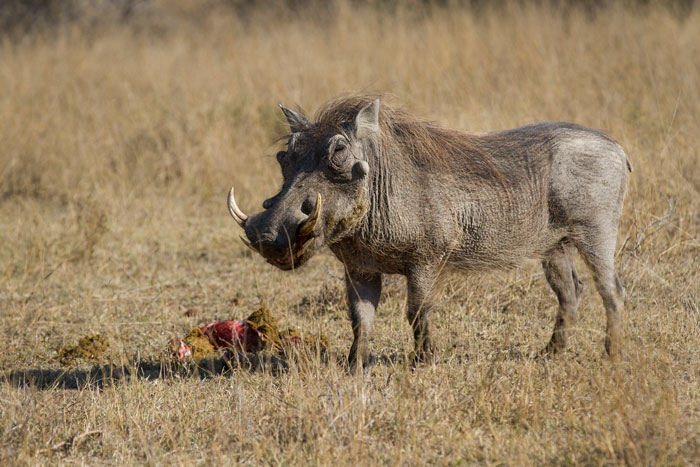 A large warthog boar picks at the stomach contents and stomach lining of an impala. Regarded as omnivorous yet eating primarily plant matter, warthogs will still supplement their diet with meat from time to time, scavenging off kills to get vital minerals that they may be lacking.