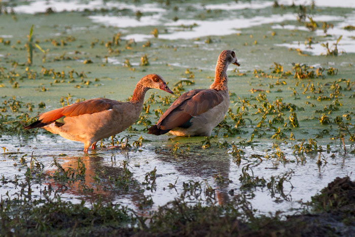 A pair of Egyptian Geese use the last of the evening light to forage in the shallows of Shingalana Dam. A pair of these birds can be found at almost every major waterhole at Londolozi.