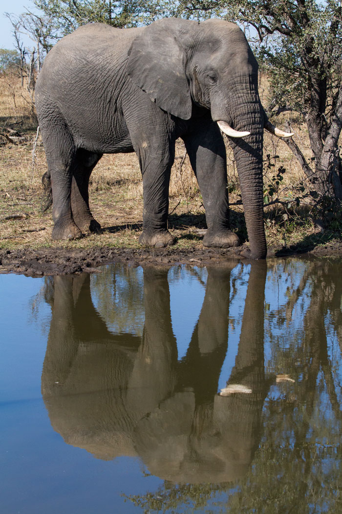 A sleeping elephant bull is oblivious of his reflection in Two Pans. We watched him dozing her for a good 15 minutes as he slowly swayed back and forth.