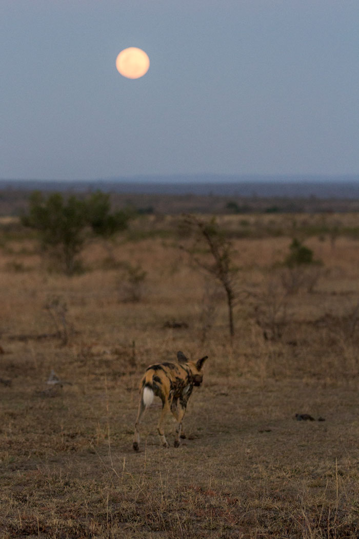 A wild dog trots out into the Open Areas under a full moon.