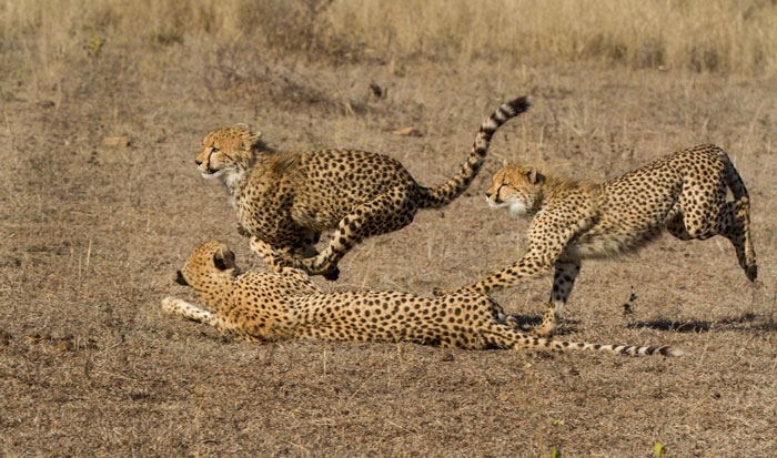 The cheetah cubs race each other past their mother on the day before she sustained her injury. She is walking stiffly, which is only to be expected, but so far the signs are good for a recovery...