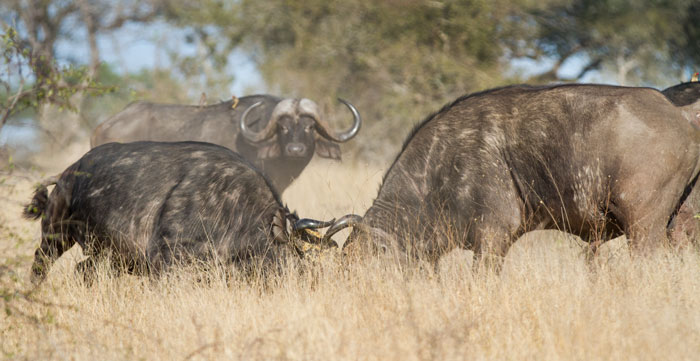 The other end of the buffalo bull spectrum; two bulls clash heads as they fight for mating rights within a herd.