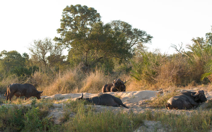 Snoozing buffalo bulls on the banks of the Manyelethi River set the tone for a peaceful evening in the bush.