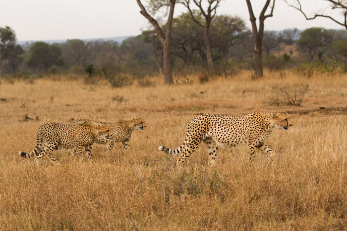 The female cheetah leads her cubs through the grasslands; an area which she led the youngsters away from yesterday morning, possibly to pay the ultimate penalty...