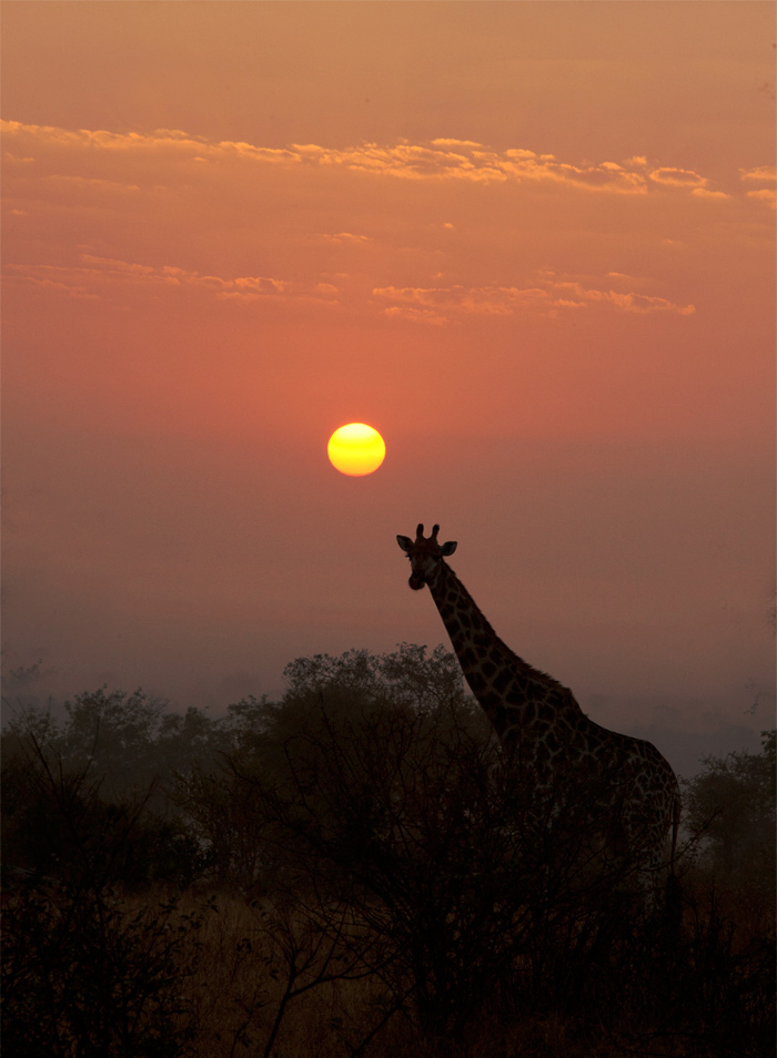 The giraffe eventually gave in and crossed in front of the sun... f14, ISO 1000, 1/250 sec