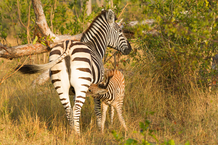 A zebra foal nurses from it's mother. Zebras have a roughly 12 month gestation but no fixed mating season, so zebra foals are seen all year round on Londolozi.