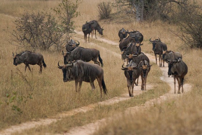 Wildbeest on the march on Tu-Tones Crest. although not even remotely approaching the wildebeest density of the Seregeti and Maasai Mara ecosystems in West Africa, Londolozi still has it's fair share.
