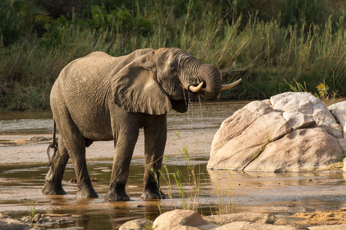 An elephant bull pauses to drink from the Sand River as he makes his way across.