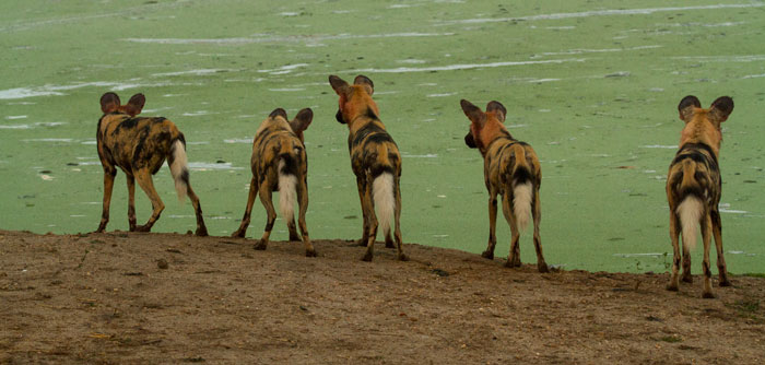 A few of the pack of 9 wild dogs, in an attempt to avoid a similar fate to the wildebeest from the previous photo, hesitate before drinking from the algae- and duckweed-covered Vomba Dam. Not finding a clear patch from which they could drink and see the approach of a croc, they moved on to find water elsewhere.