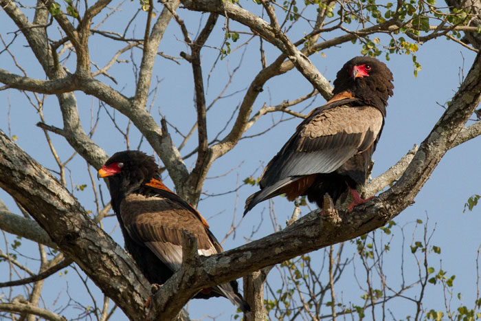 Like the African Hawk Eagles, Bateleur eagles will also form monogamous pairs, and a number of prominent nest sites throughout Londolozi are well known to the rangers and trackers. This pair has made the Nanga area in the north of the property their home for a number of years now.