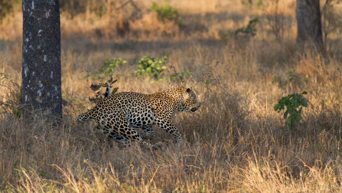 The leopard swerves in towards the dead impala, having successfully scared the cheetah away.
