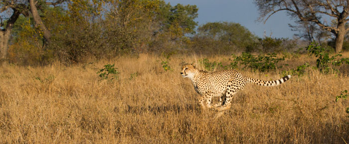 The cheetah runs past our vehicle, making a beeline for the impala herd that now have their backs turned.