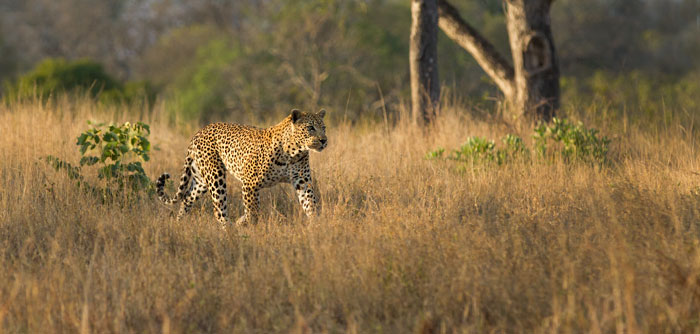 The leopard has realised that he just has one cheetah to deal with and begins running in.