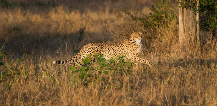 The cheetah sees he leopard, turns tail and runs from his hard-earned meal.