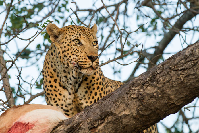 The leopard casts a wary eye in the direction of the skulking cheetah before settling down feed.