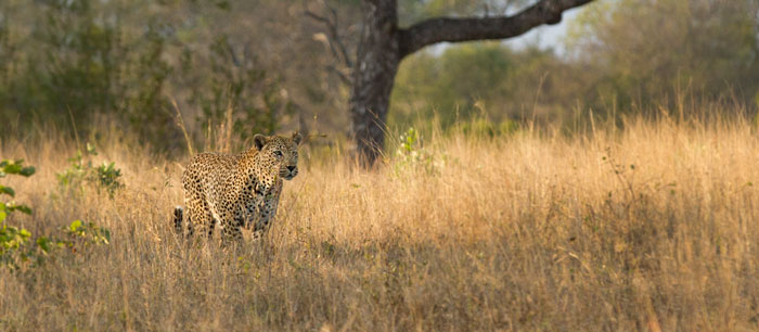 The Camp Pan male pauses on his approach to assess the situation before making his move.