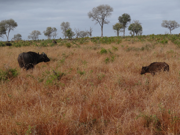 The young buffalo calf lagging with its mother waiting patiently.