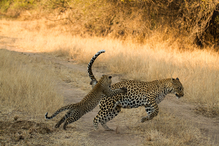 Jumping, pouncing, chasing, learning. Mike Sutherland