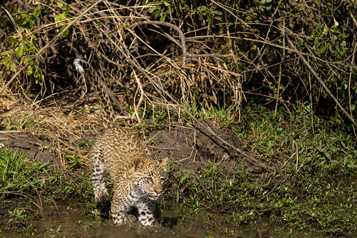 Water is not the most attractive thing to a Leopard yet this cub had no choice if it wanted to get to its mother. Mike Sutherland