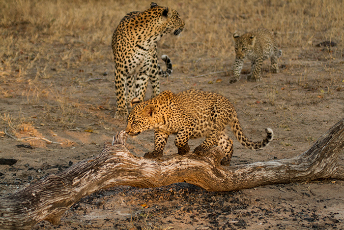 Tamboti female with her first litter of 2 cubs. Mike Sutherland
