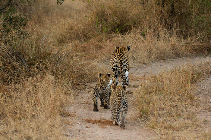 Tamboti and her cubs at 3months old. Mike Sutherland