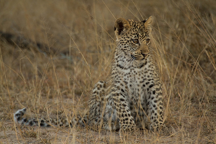 One of the cubs of the Tamboti female. Currently the most sought after Leopards on the property. Mike Sutherland
