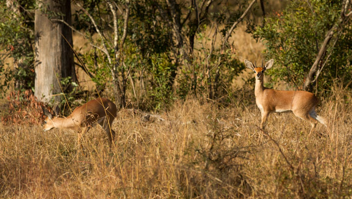 A pair of Steenbok. The smallest antelope on Londolozi, these territorial little animals are often to be seen feeding together, but are notoriously shy, dashing away when they realise they have been seen.
