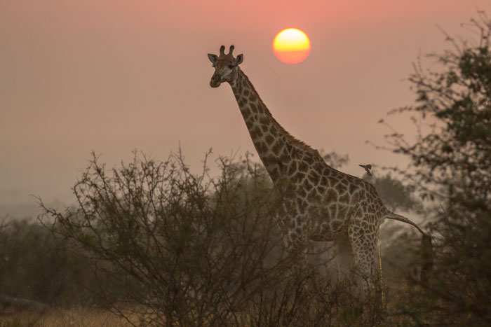 A female giraffe enjoys the sunrise overlooking Winnis' Clearing while a red-billed oxpecker alights for a morning feed.