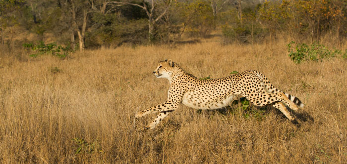 The male cheetah as he begins accelerating after a fleeing impala herd. He swerved through some bushes and we lost him entirely, following the impalas but with no sign of the spotted cat. We looked around for a minute, very confused, until Daniel Buys radioed to say that the cheetah had changed direction and had brought down an impala a few hundred metres away. He was not to enjoy his meal however, as he was robbed by the Camp Pan male leopard less than 10 minutes after he had made the kill.