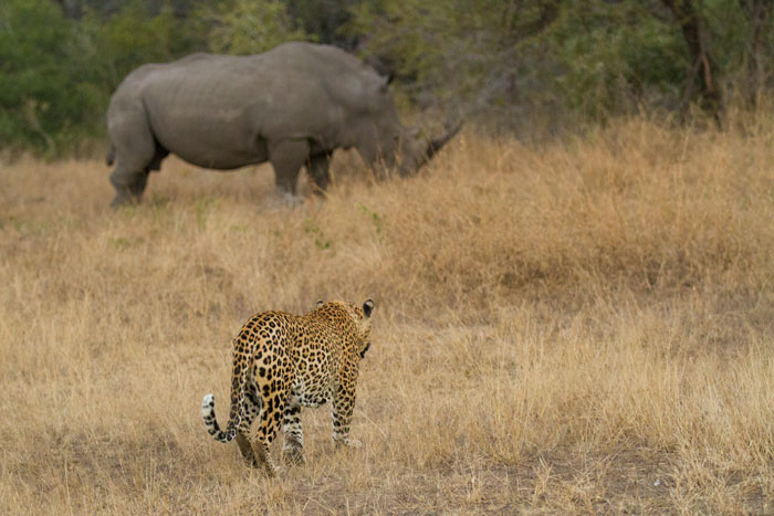 Not a brilliant photograph, but it's still great to get two of the Big 5 in one frame. The Camp Pan male leopard approaches a grazing white rhino.