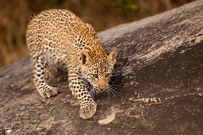 Tamboti-Male-Cub-stalking