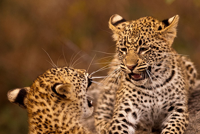 Tamboti-Cubs-playing-2
