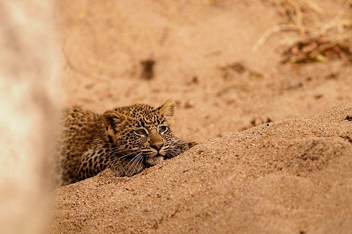 Tamboti-Cub-Female-stalks-on-sand