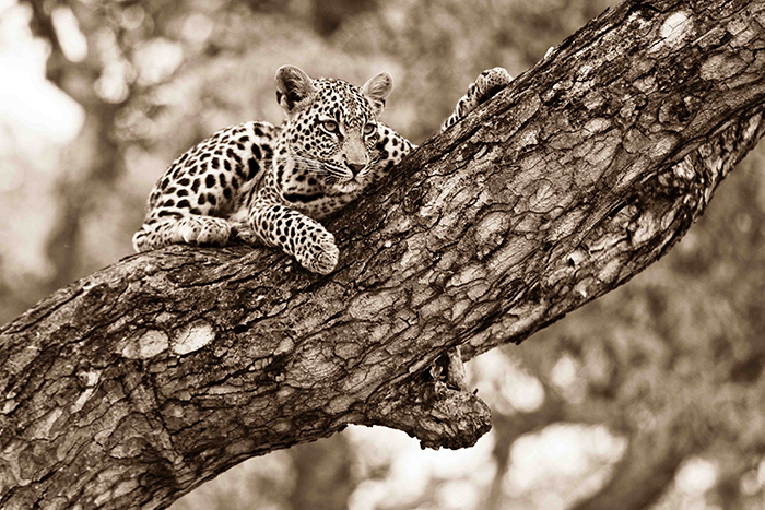 Black and white view of one youngster looking over her mothers territory, in the safety of yet another MArula tree. Mike Sutherland