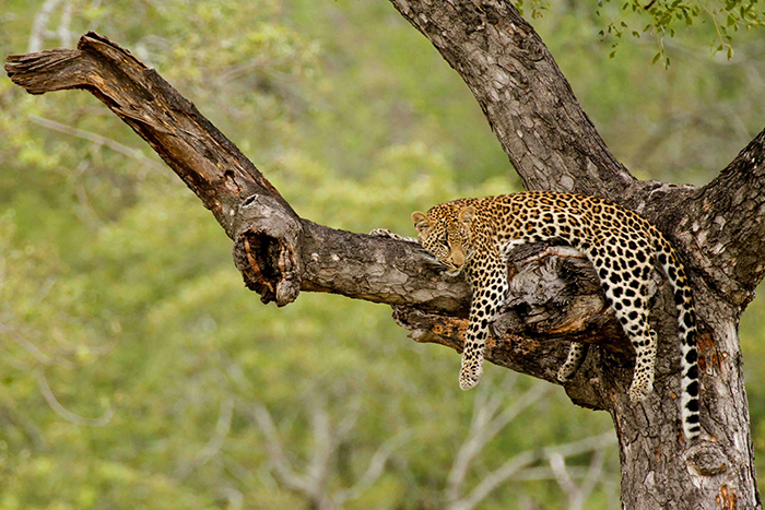 Without a care in the world. The other sister resting in a Marula close by. Mike Sutherland