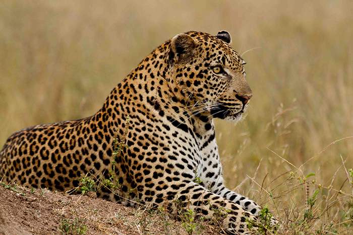 The Gowrie 2:2 Male slowly establishing his territoty in the northern parts of Londolozi. Mike Sutherland