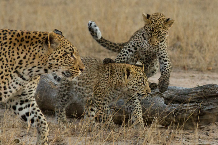 Full of bounce, the Tamboti cubs play while their mother leads them back towards the Maxabene riverbed. The three had been robbed by the Camp Pan male on this morning, but they all had full bellies so had clearly been at the kill for sometime before the male came on the scene.