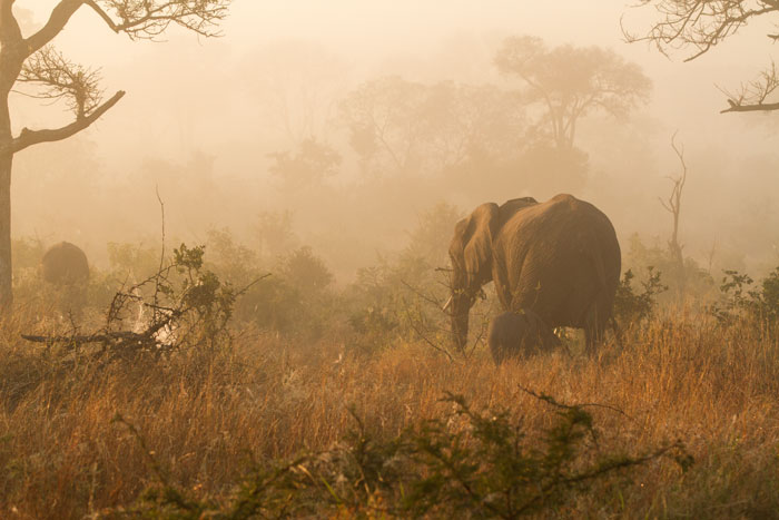 An elephant cow leads her calf through the mist-shrouded round-leaf teak thickets on southern Londolozi.