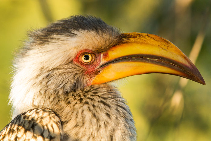 A yellow-billed hornbill that luckily sat still long enough for us to photograph it from the Tree Camp deck.