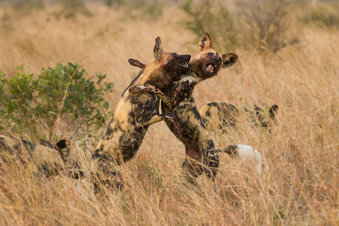 Two wild dogs from the pack of 9 in high spirits after their successful take-down of a young kudu.
