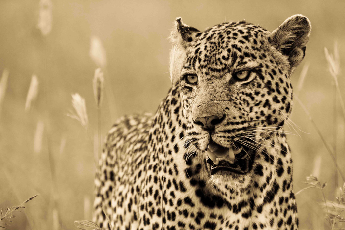 The Marthly Male leopard.
