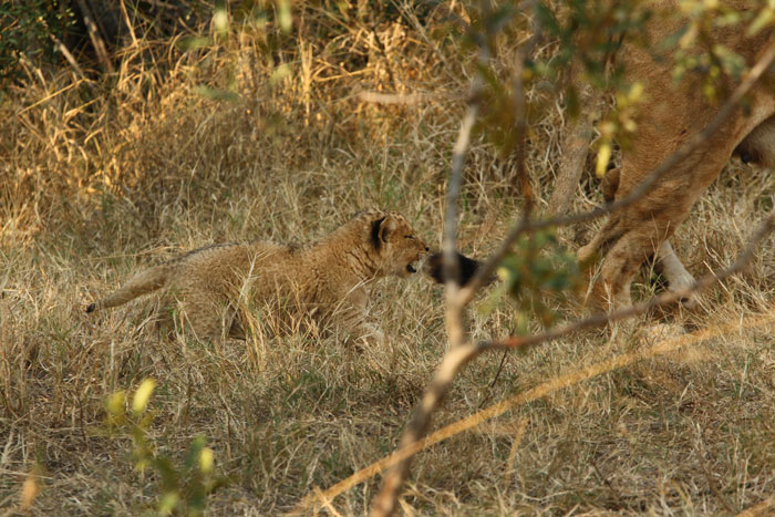 An old photo, but the first one i ever captured of the young female, as she playfully chases her mother's tail near a waterbuck kill that the adults from the pride had made.