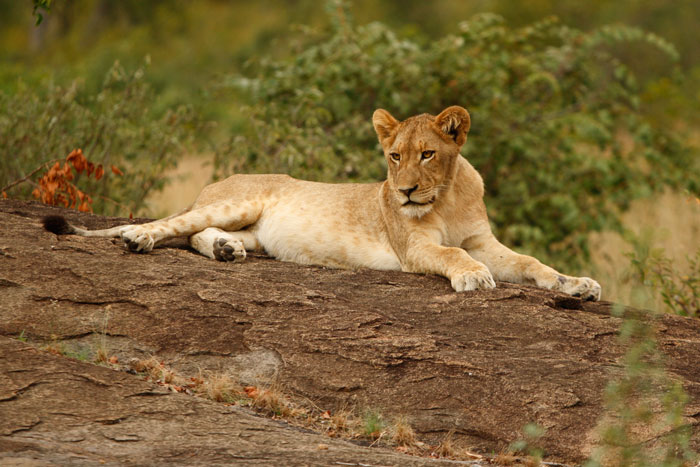 Lying on the rocks at the base of Ximpalapala Koppie, one of the pride's favourite haunts.