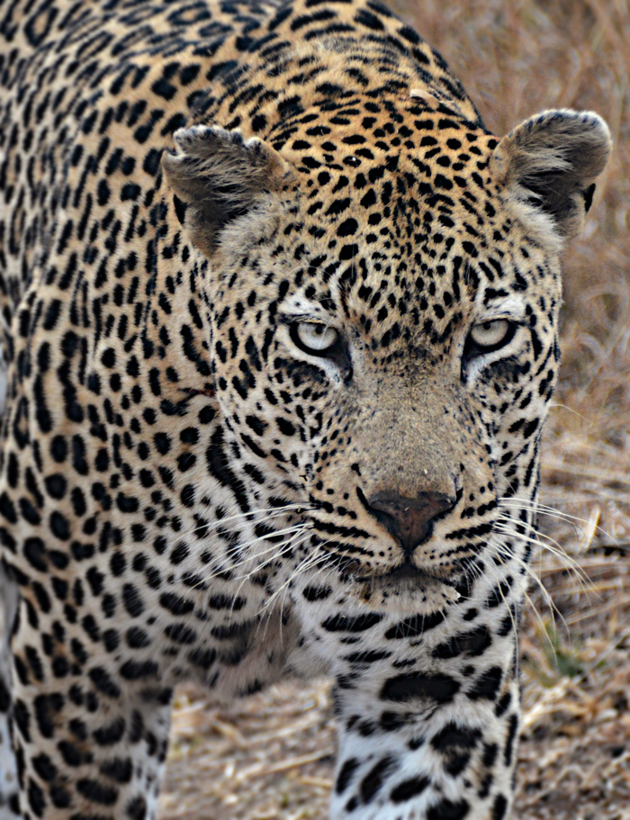 Unknown male leopard
