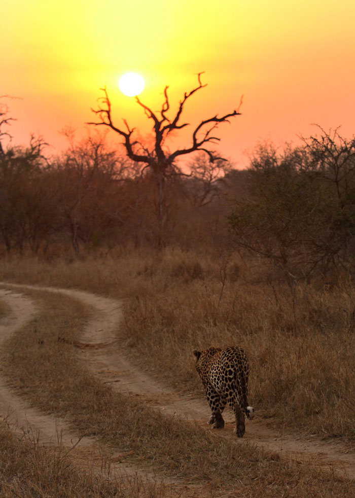 Patrolling near the Sand River under a winter sunset, the 5:5 male walks along a road where today you are far more likely to find the Marthly male.