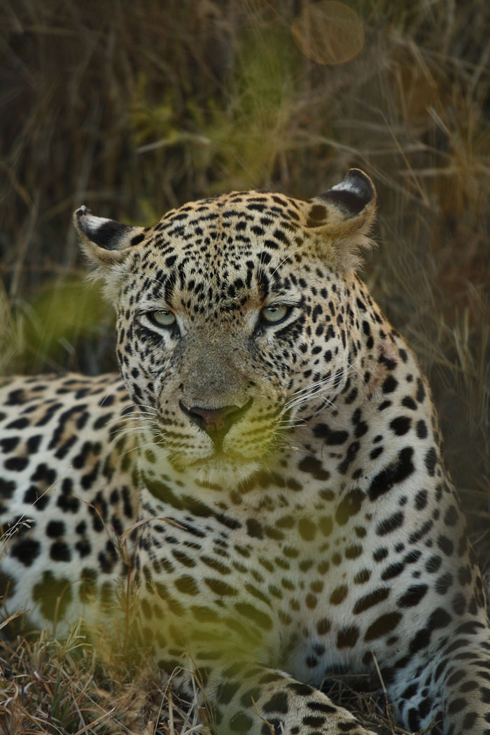 Beautiful aquamarine eyes are almost as definitive as this leopard's 5:5 spot pattern when it comes to identifying him.
