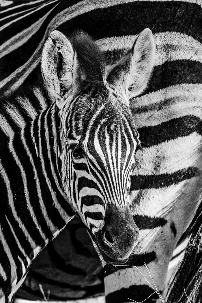 A Zebra foul. Always close, connected to its mother.