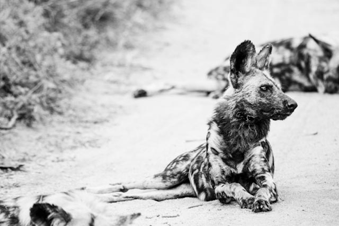 One of the most thrilling sightings a guest can ever have, following a pack of African Wild Dogs.