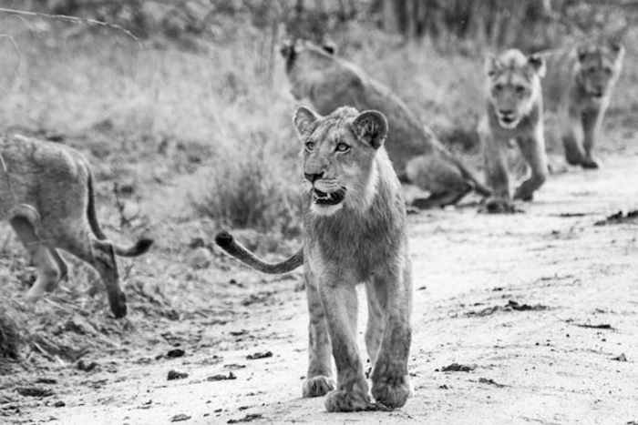 A young male Lion leads the way for his siblings.